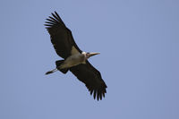 marabou stork  soaring over the savannah