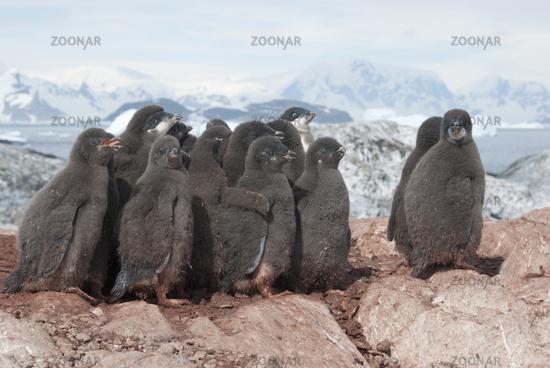 Group of Adelie penguins chicks.