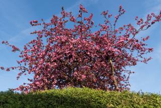 pink leuchtende Zierapfelbüten - Frühling
