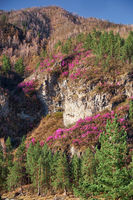 Mountain slopes covered by Rhododendron dauricum bushes with flowers (popular names bagulnik, maralnik).