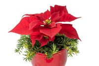 Roter blühender Weihnachtsstern im Roten Blumentopf mit Tannenzweigen dekoriert freigestellt auf wei
