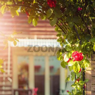 Idyllic garden in summer. Close up of rose flower, veranda, garden and house in the blurry background