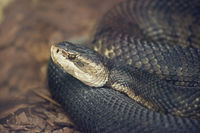 Florida Cottonmouth snake