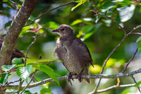 Young starling bird sitting on the twig of a tree