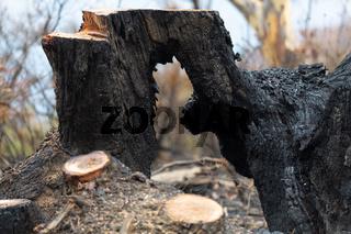 Burnt hollow tree felled after bushfires in Australia
