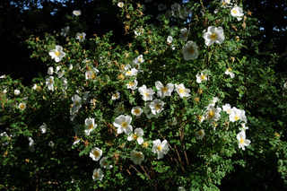 Rosa spinosissima Syn. R. pimpinellifolia, Bibernellrose, burnet rose