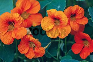 Orange garden nasturtium flowers (Tropaeolum majus), closeup