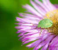 Green shield bug on a pink aster flower