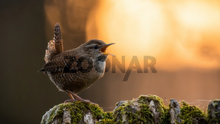 Eurasian wren with open beak on a mossy tree with orange sun in background