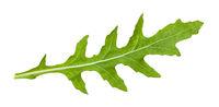 fresh leaf of Arugula plant isolated