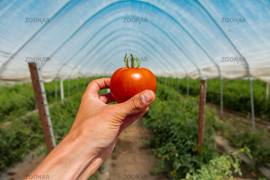 farmer's hand holding a ripe red tomato