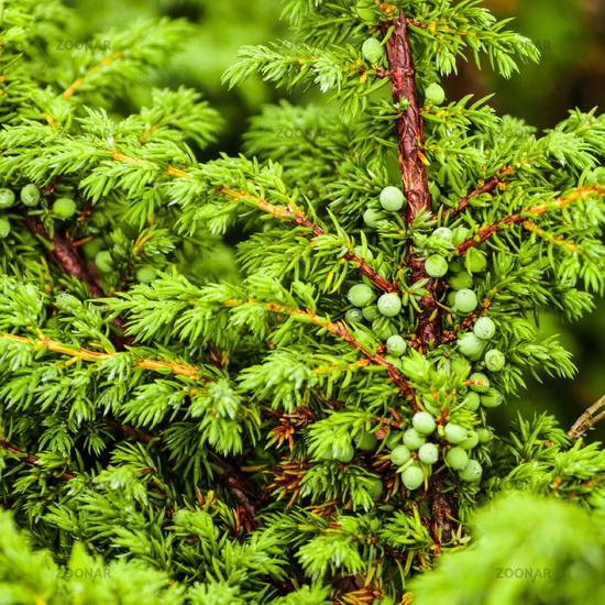 Green juniper's berries