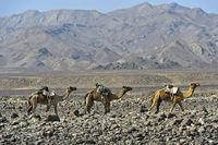 Dromedar-Karawane der Afar Nomaden auf der Wanderung durch eine Steinwüste in der Danakil Depression