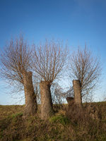 New twigs on cutted willow trees on the river Wulka in Burgenland