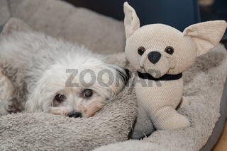 kleiner weisser Hund relaxed neben kleinem Stoffhund