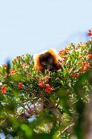 Red ruffed lemur, Varecia rubra, Madagascar wildlife