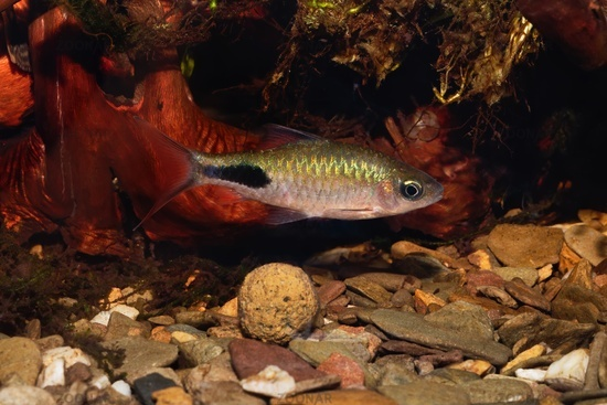 Cyprinid fish Enteromius rohani in freshwater aquarium