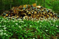 Baerlauch im Laubwald vor einem Holzstapel