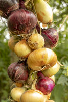 Verschiedene Arten von Zwiebeln zu einem Zopf gebunden vor unscharfem grünem Hintergrund