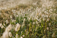 Fluffy bushes Timothy grass in the early spring morning under the bright and gentle sunrays. Selective focus macro shot with shallow DOF