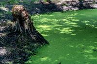 Tümpel im Wald bedeckt mit Wasserlinsen