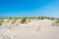 Strandhafer auf einer Küstendüne an der Ostsee bei Graal-Müritz