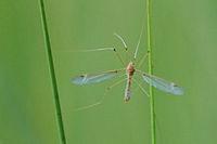 Schnake (Tipulidae)