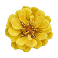 Beautiful yellow flower zinnia isolated.