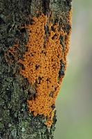 Schleimpilz (Badhamia utricularis)