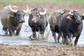 water buffalo closeup