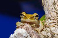 nocturnal frog Boophis Madagascar, wildlife