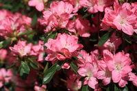 Rhododendron formatfuellend
