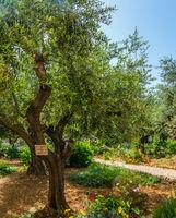 Gethsemane Garden on the Mount of Olives