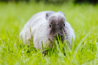 A Lop Rabbit Outside in Long Grass