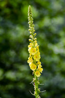Close up of Reseda luteola, known as dyer rocket, dyer weed