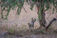 Cheetah cubs beneath a tree in savannah