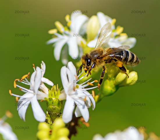 Bee collecting nectar at a white seven son flower blossom