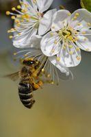 Biene bestaeubt Bluete