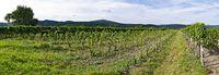 Panorama eines neu gepflanzten Weingartens in Sooß