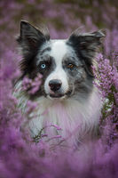 Border collie dog in heather landscape