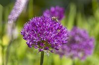Zierlauch (Allium sp.) mit Biene