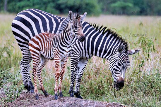 Zebras im Regen im Lake Mburo Nationalpark in Uganda (Equus quagga) | Zebras in the rain at Lake Mburo National Park in Uganda (Equus quagga)