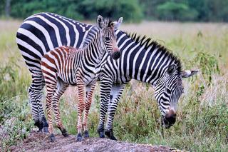 Zebras im Regen im Lake Mburo Nationalpark in Uganda (Equus quagga)   Zebras in the rain at Lake Mburo National Park in Uganda (Equus quagga)
