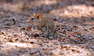 Streifenmaus, Kgalagadi-Transfrontier-Nationalpark, Südafrika, (Rhabdomys pumilio) | african striped mouse, Kgalagadi Transfrontier National Park, South Africa, (Rhabdomys pumilio)