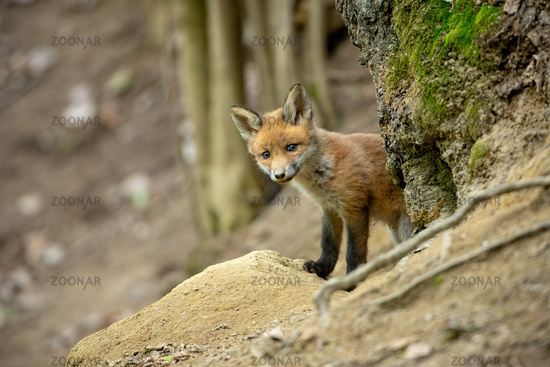Playful red fox cub peaking out from behind a tree in spring forest