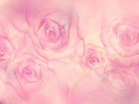 Pink Roses close up for background