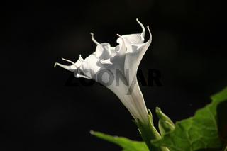 Stechapfel - Blume