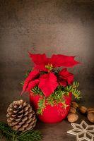 Weihnachtsstern im roten Topf steht vor grauem Hintergrund, dekoriert mit Tannenzapfen und strohster