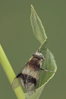Weissbandschwebfliege (Leucozona lucorum)