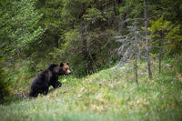 Majestic brown bear walking up a slope covered with grass in summer forest